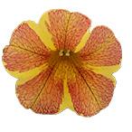 Calipetite Flower